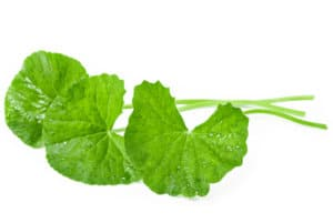 Fresh Centella asiatica, Asiatic Pennywort leaf.